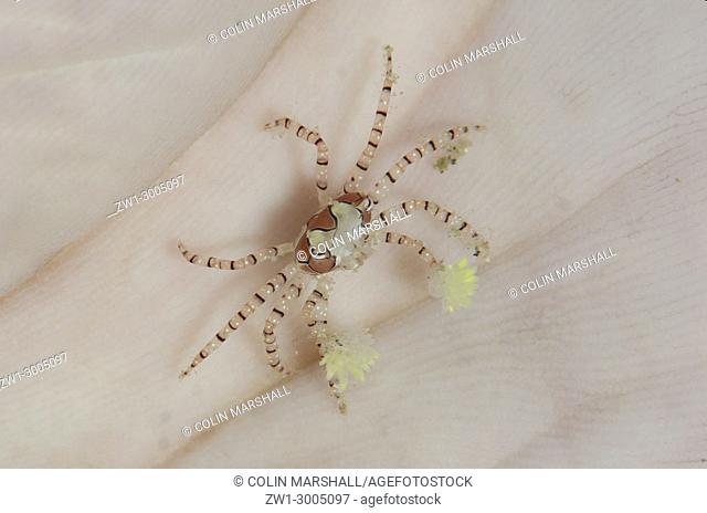 Pom-pom Crab (Lybia tesselata), with anemones on legs for protection on palm of hand (model released), Batu Merah dive site, Lembeh Straits, Sulawesi, Indonesia