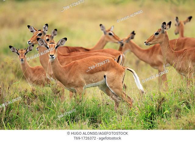 Big group of females of Impala, Aepyceros melampus