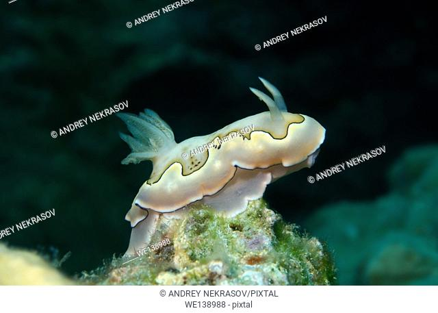 nudibranch or sea slug Co's Goniobranchus (Chromodoris coi) South China Sea, Redang, Malaysia, Asia
