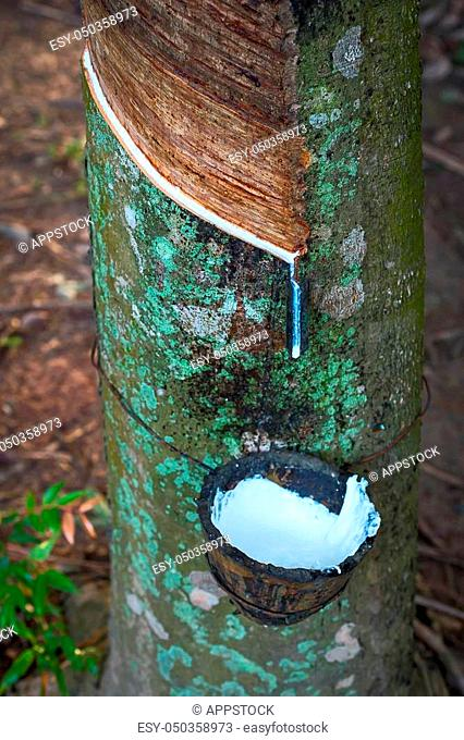 Rubber Latex of rubber trees