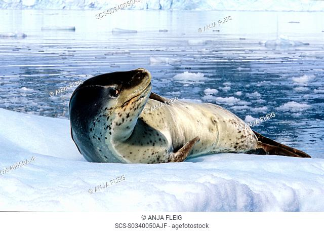 Leopard Seal Hydruga leptonyx lying on ice and raising its head Paradise Harbour, Antarctica