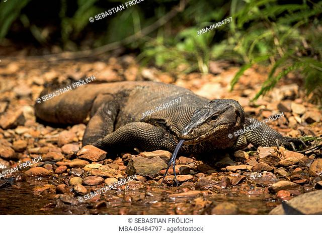 A licking Waran in the Gunung Leuser national park on Sumatra / Indonesia on the shore of a small stream course