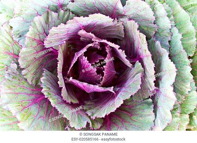 Closeup Fresh Cabbage