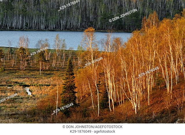 Spring aspens and birches leafing out on a hillside at the edge of a wetland, Greater Sudbury Lively, Ontario, Canada
