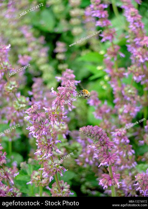 Bumblebee on Salvia verticillata 'Purple Rain' Whorled sage