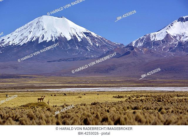 Snow-covered volcanoes Pomerape and Parinacota, vicuñas or vicugnas (Vicugna vicugna), Sajama National Park, border between Bolivia and Chile