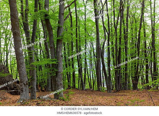 France, Alpes de Haute Provence, Adroit de Pontis, beech grove in spring, beech Fagus sylvatica
