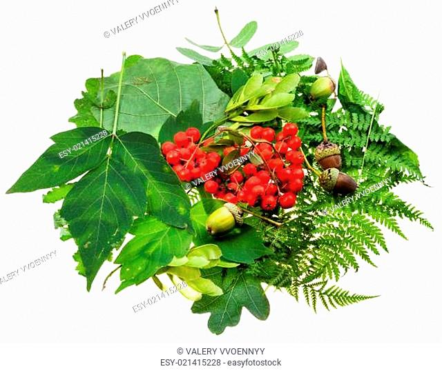green leaves, red seeds and acorns