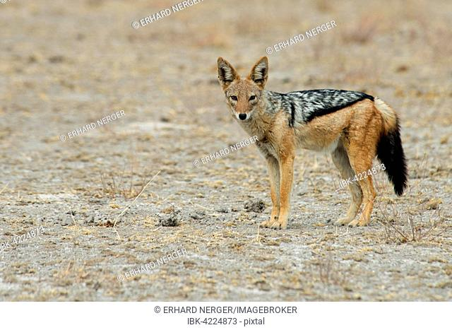 Black-backed jackal (Canis mesomelas), Etosha National Park, Namibia