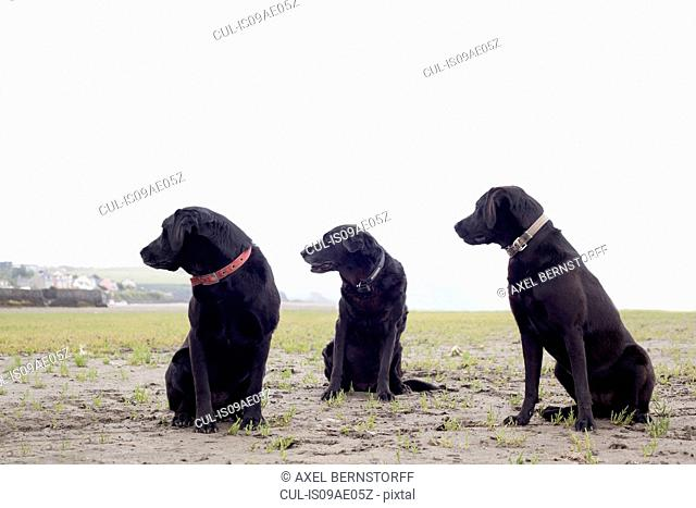 Portrait of three black labradors looking in same direction