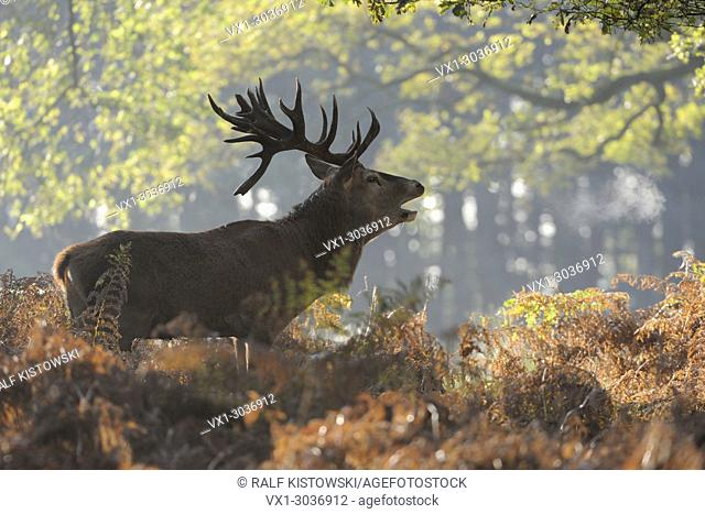 Red Deer ( Cervus elaphus ) stag during rut, stands in fern at the edge of a forest, calling, roaring, visible breath cloud, Europe