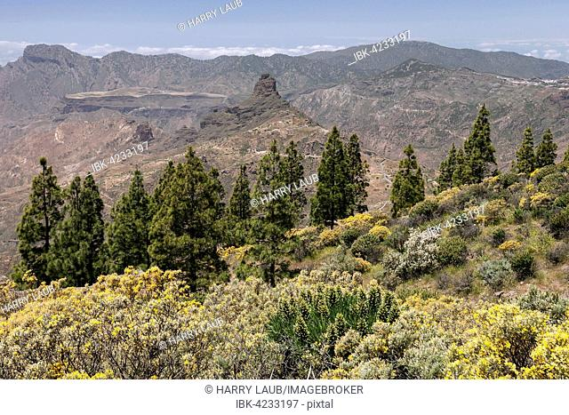 View from the trail to the Roque Nublo, blooming vegetation, yellow flowering broom (Genista) Canary island pine (Pinus canariensis)
