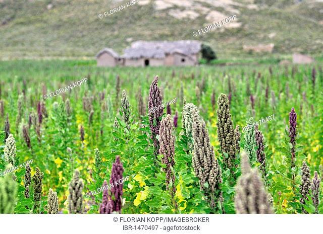 Quinoa plants (Chenopodium quinoa), Altiplano Bolivian highland, Oruro Department, Bolivia, South America