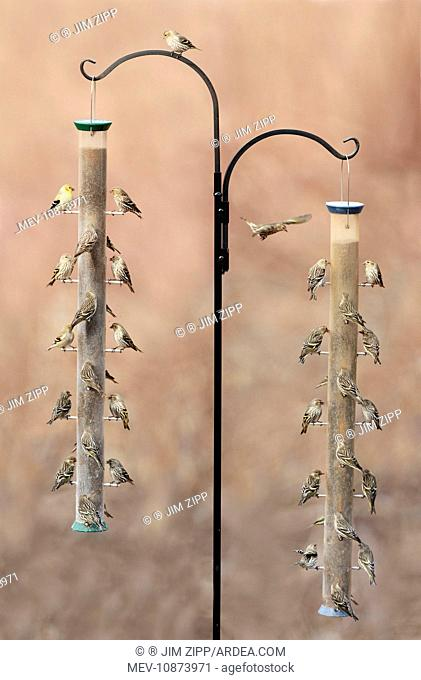 Pine Siskin with American Goldfinch - at bird feeder in winte (Carduelis pinus). CT - USA - February