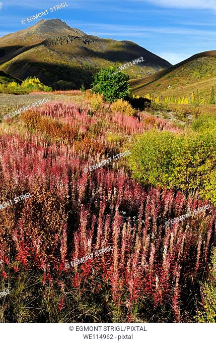 red fireweed at Tombstone Territorial Park, Dempster Highway, Yukon Territory, Canada, North America