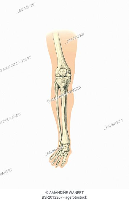 LEG, DRAWING Bone of the leg and foot. The bones of the leg and foot are represented : femur, tibia and fibula, lateral malleolus external and medial malleolus...
