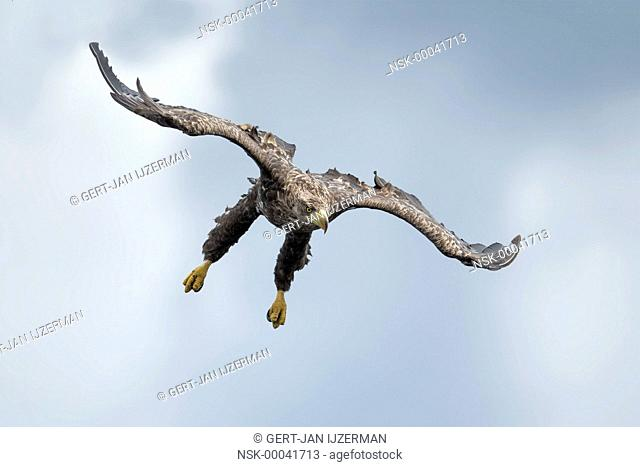 White-tailed Eagle (Haliaeetus albicilla) juvenile diving to prey, Poland, Stepnica, Oder