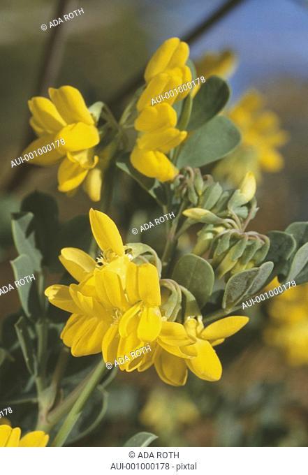 Coronilla - fragrant yellow bush - bees enticement
