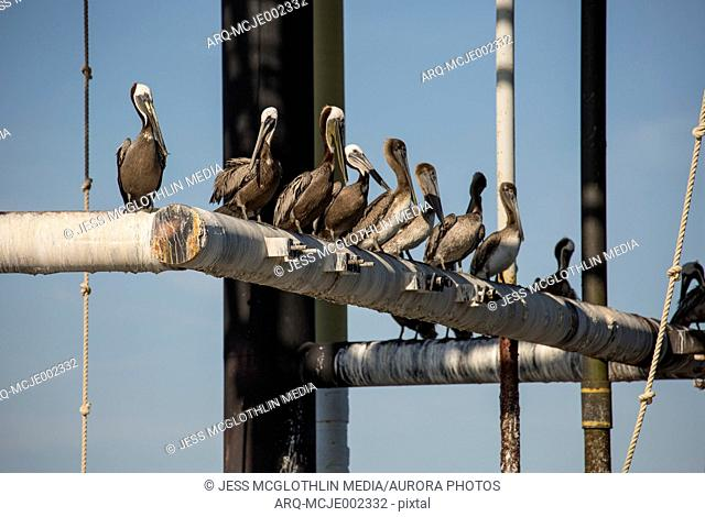 Flock of pelicans perching on oil platform pipes, Lake Charles, Louisiana, USA