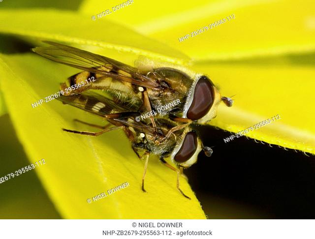 Close-up of a pair of Migrant or Vagrant hoverflies (Eupeodes corollae) mating on a leaf in a garden in Norfolk, UK. A very common species in much of Britain