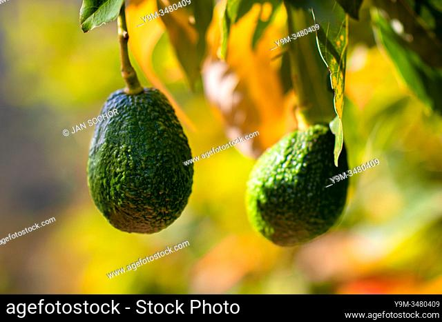 Avocados are seen growing on a tree at a farm near Sonsón, Antioquia department, Colombia, 16 October 2019. Over the past decade