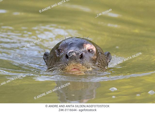 Giant otter (Pteronura brasiliensis) in water, Pantanal, Mato Grosso, Brazil