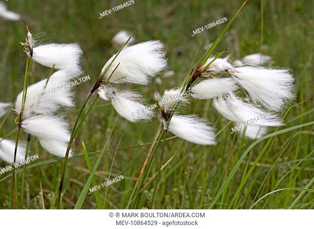 Flowers of cotton grass or Hare's-Tail - blowing in wind (Eriophorum vaginatum). Ben Eighe National Nature Reserve, Scotland, UK