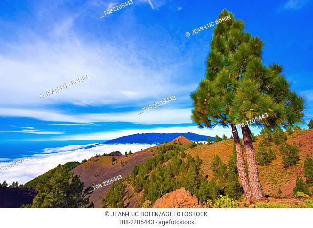 spain, canary islands, la palma : birigoyo way, pine-tree