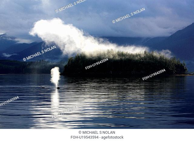 Humpback Whale Megaptera novaeangliae surfacing in mist in Hobart Bay, Southeast Alaska, USA. Pacific Ocean