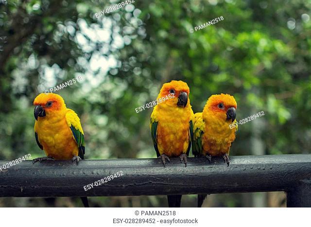 Retro pictrure beautiful parrot, Sun conure(Aratinga solstitialis)