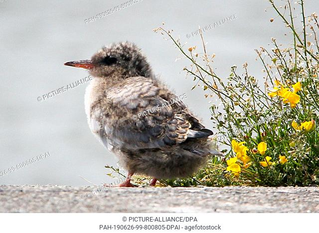 19 June 2019, Schleswig-Holstein, Wesselburenerkoog: A coastal tern-chick sits at the edge of a brood-colony at the Eidersperrwerk