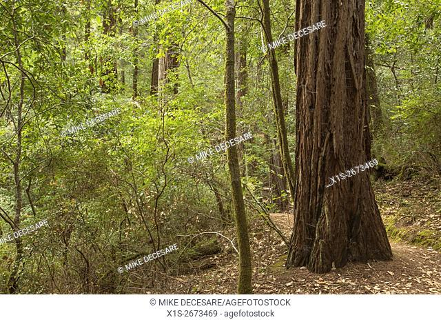 Old Growth Redwood trees and new growth stand side by side in a Redwood forest in Southern California
