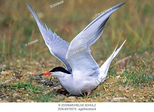 Fluss-Seeschwalbe ein Gelege besteht aus 2 - 4 Eiern - (Foto Altvogel mit Gelege) / Common Tern the female lays 2 to 4 eggs in a bare scrape - (Photo adult with...