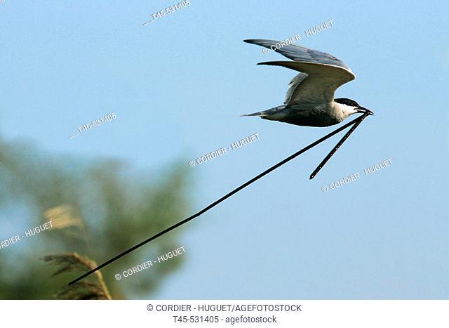 Whiskered Tern (Chlidonias hybrida) . Bulgaria