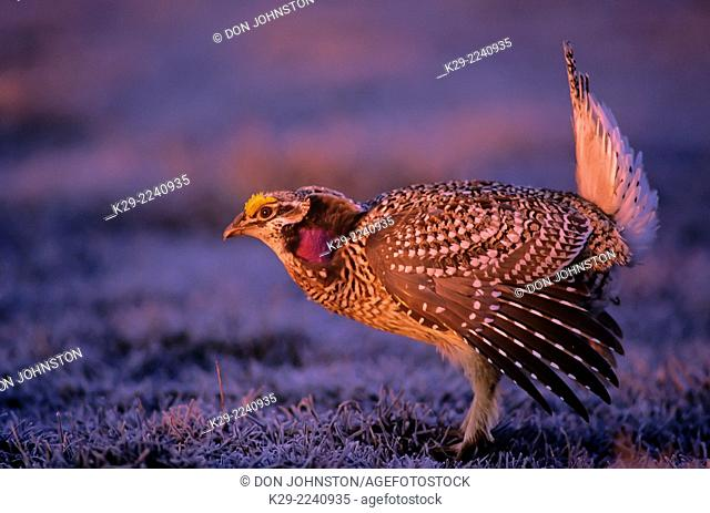 Sharp-tailed grouse (Pedioecetes phasianellus) male displaying on courtship lek, near Little Current, Manitoulin Island, Ontario, Canada