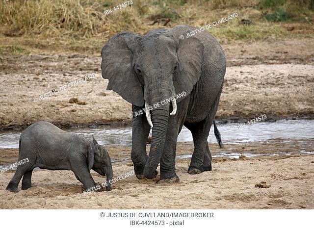 African bush elephants (Loxodonta africana), cow and calf drinking from hole dug in river bed, Tarangire River Tarangire National Park, Tanzania