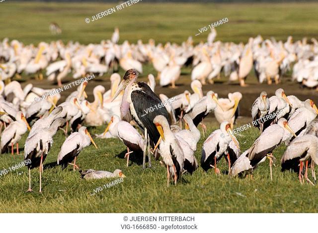 colony of Yellow-billed Stork one Marabou Stork between, Mycteria ibis and Leptoptilos crumeniferus, NAKURU NATIONAL PARK, KENYA