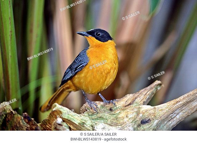 snowy-crowned robin chat Cossypha niveicapilla, sitting on roots