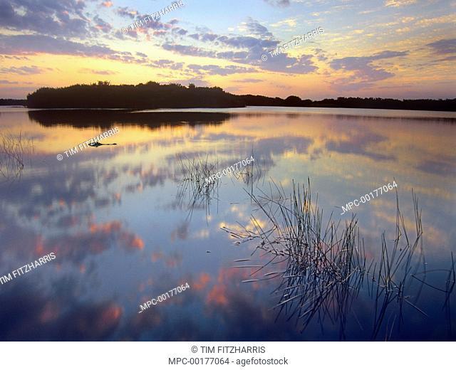 American Alligator (Alligator mississippiensis) floating in Paurotis Pond, Everglades National Park, Florida