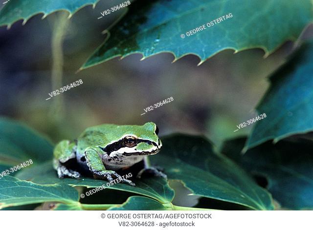 Pacific tree frog, McKenzie Wild & Scenic River corridor, Willamette National Forest, Oregon, USA