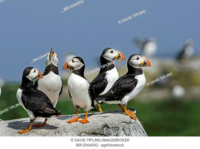 Puffins (Fratercula arctica), Inner Farne, Farne Islands, Northumberland, England, United Kingdom, Europe