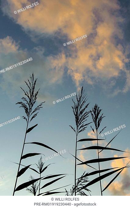 Reed, Rehdener Geestmoor, Diepholz district, Niedersachsen, Germany / Schilf im Rehdener Geestmoor, Landkreis Diepholz, Niedersachsen, Deutschland