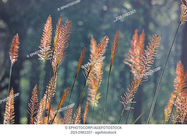 Background with sunlight and grass, Dudhwa National Park, Uttar Pradesh, India