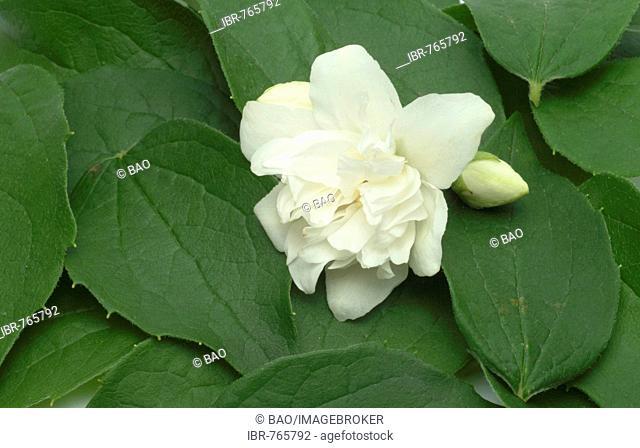 Yellow Jessamine, Carolina Jasmine or Evening Trumpetflower (Gelsemium sempervirens), medicinal plant
