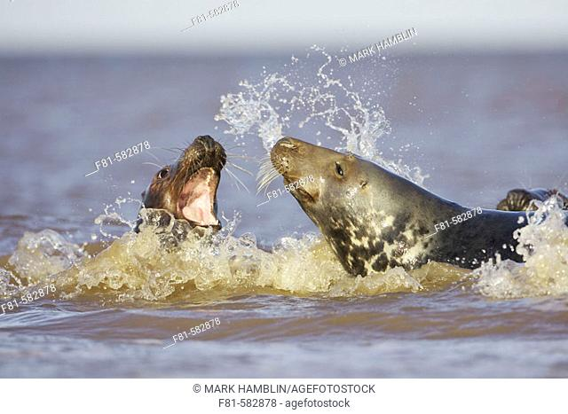 Grey Seal (Halichoerus grypus) sub-adults play-fighting in sea. North Lincolnshire, UK. November 2005
