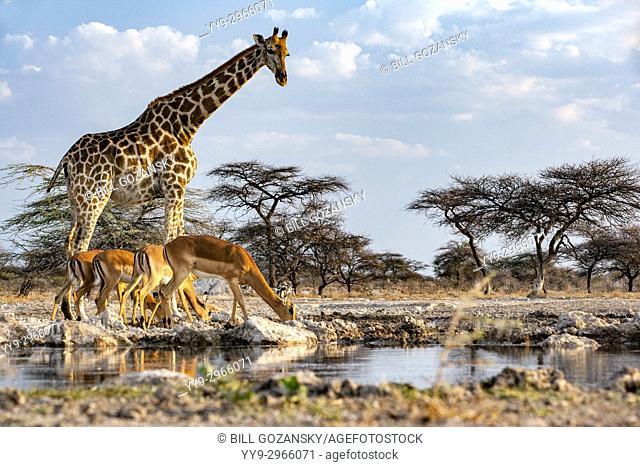 Giraffe with impala at Onkolo Hide, Onguma Game Reserve, Namibia, Africa