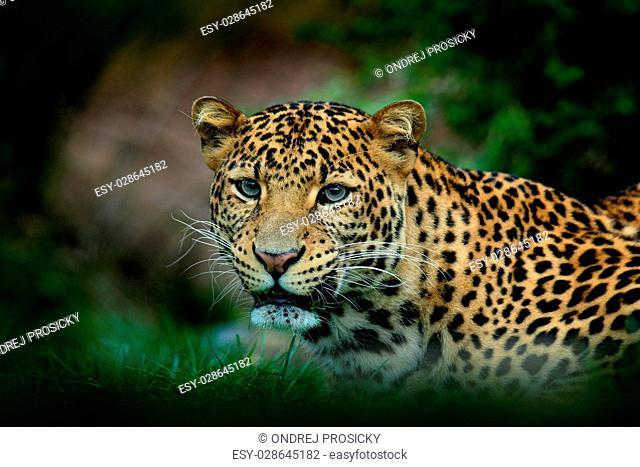 Javan leopard, Panthera pardus melas, portrait of cat