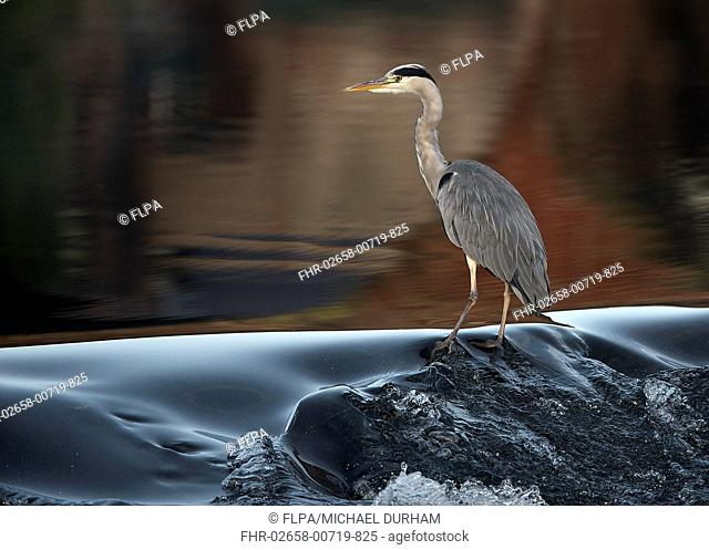 Grey Heron (Ardea cinerea) adult, standing in river, River Nith, Dumfries and Galloway, Scotland, October