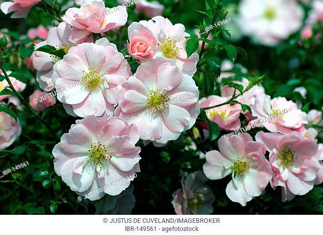 Roses Floribundarose Queen Mother (Rosa Queen Mother)