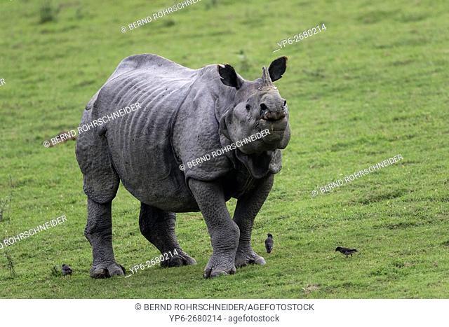 Indian rhinoceros (Rhinoceros unicornis), threatened species, and Jungle mynas (Acridotheres fuscus), Kaziranga National Park, Assam, India